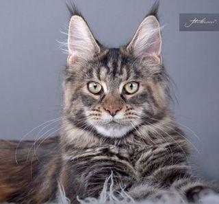 Un chat gris et noir regarde l'objectif de l'appareil photo