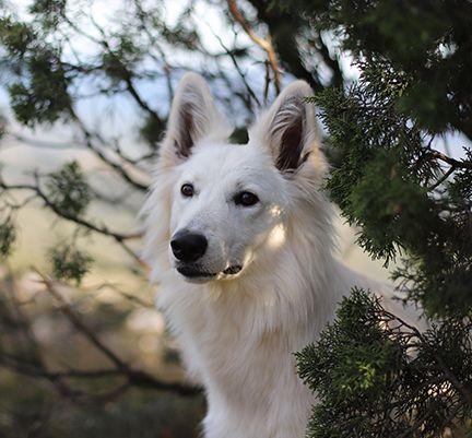 Un chien, les oreilles dressées, regarde légèrement sur sa droite