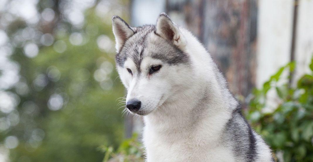 Husky en extérieur regardant le sol