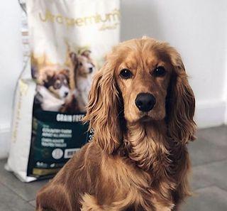 Un chien regardant l'objectif de l'appareil photo devant un paquet de croquettes Ultra Premium Direct