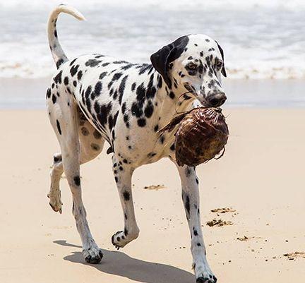 Dalmatien tenant une noix de coco