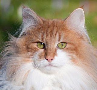 Gros plan sur un chat Norvégien