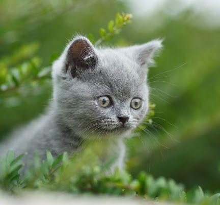 Un chaton gris dans la nature, l'importance de l'alimentation bio pour chat