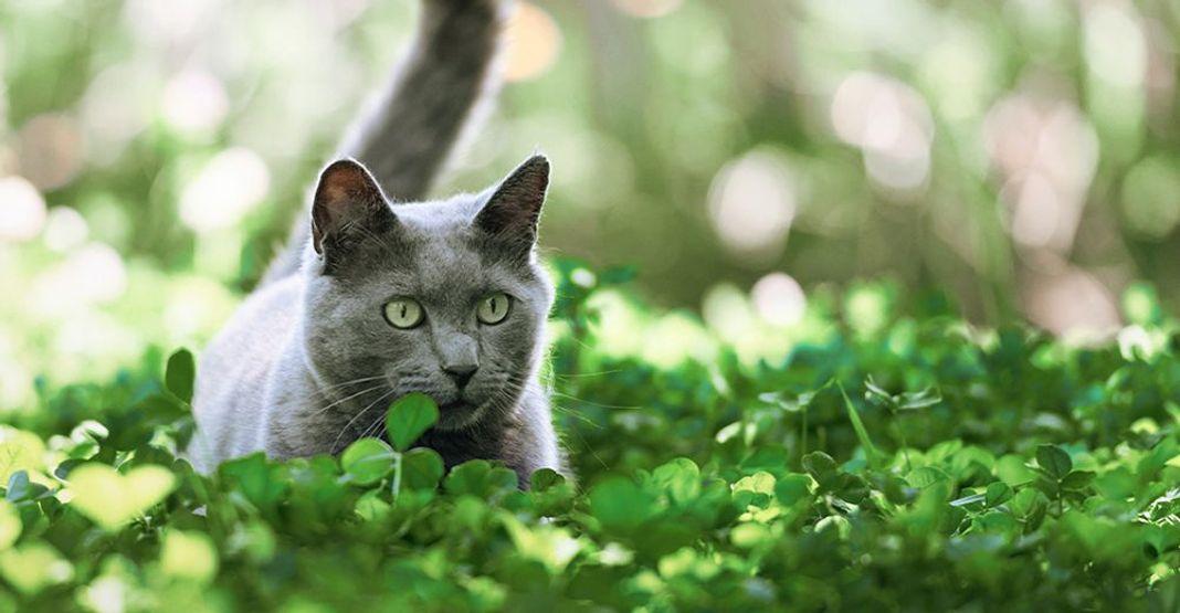 Un chat gris en mouvement dans la nature, le rôle du bio dans son alimentation