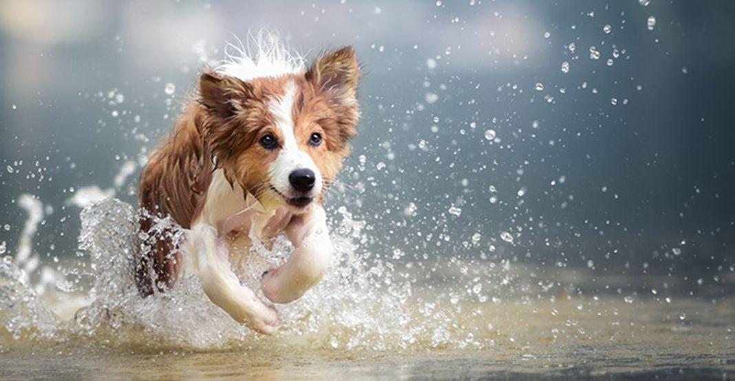 Un chien court dans l'eau lors d'une canicule