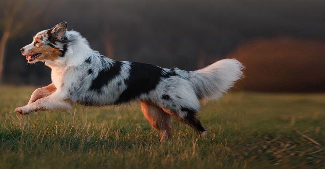 Un chien pratiquant un sport canin