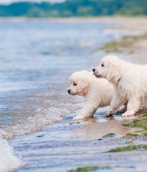 2 chiots blancs jouant au bord de la mer