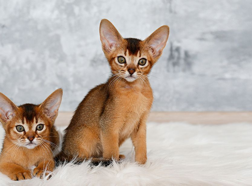 2 chatons abyssin
